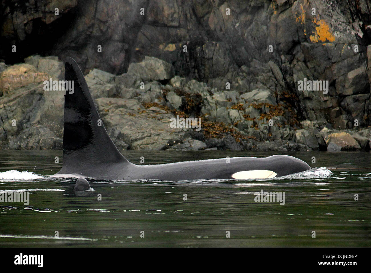 Transient orca whale surfacing near Sonora Island in British Columbia, Canada - Stock Image