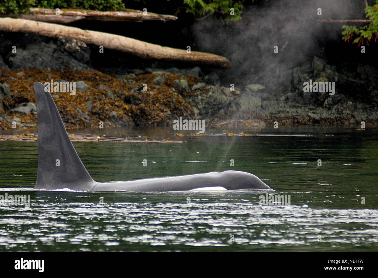 Transient orca killer whale surfacing near Quadra Island in British Columbia - Stock Image