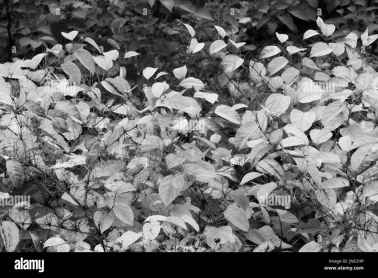 Japanese knotweed background in black and white - Stock Image