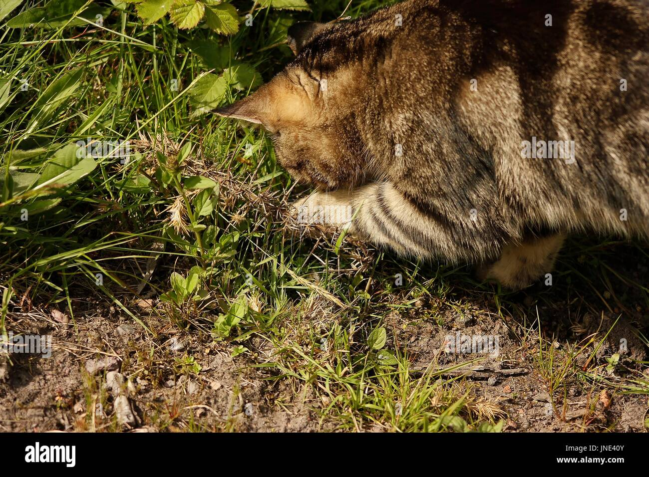 Close up of an isolated female tabby cat outside hunting for bugs in some grassland with sunlight - Stock Image