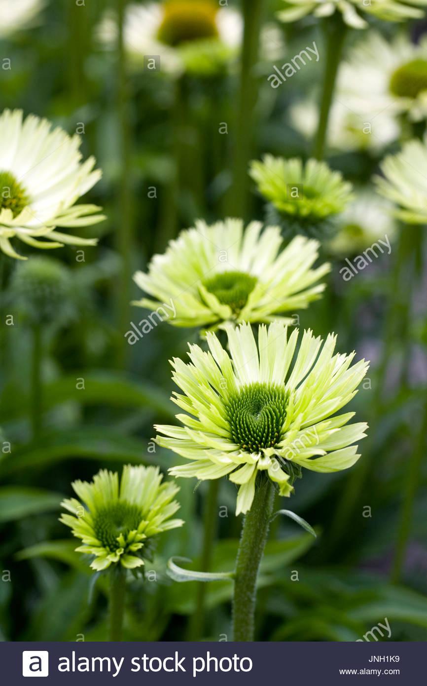 Echinacea 'Green Jewel' flowers. - Stock Image