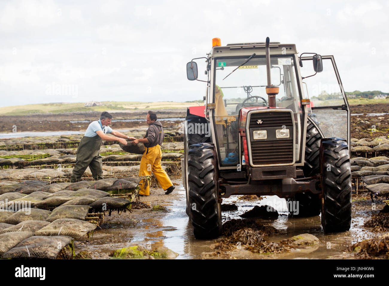 Oyster farm Kilcolgan, county Galway, July 2016. Tractor carrying oysters in metal bags. Kellys Oysters is family Stock Photo