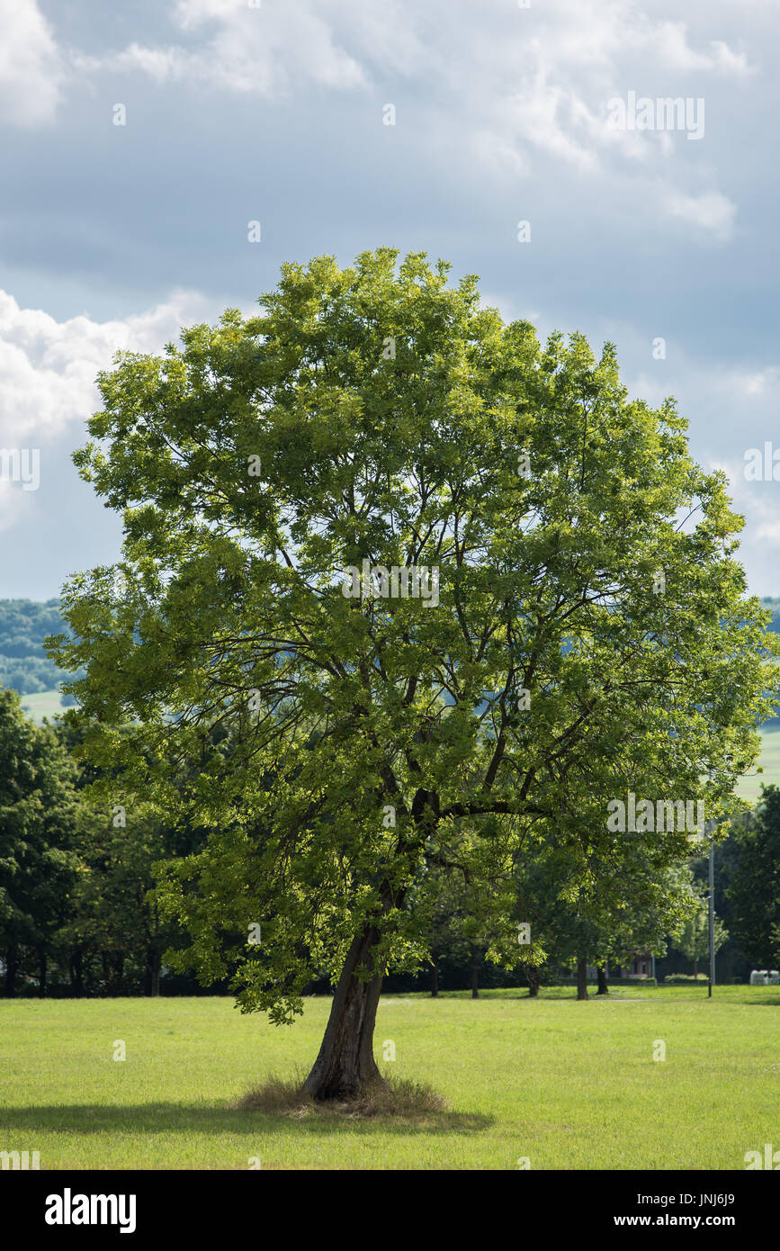 tree in a park in south west germany Stock Photo