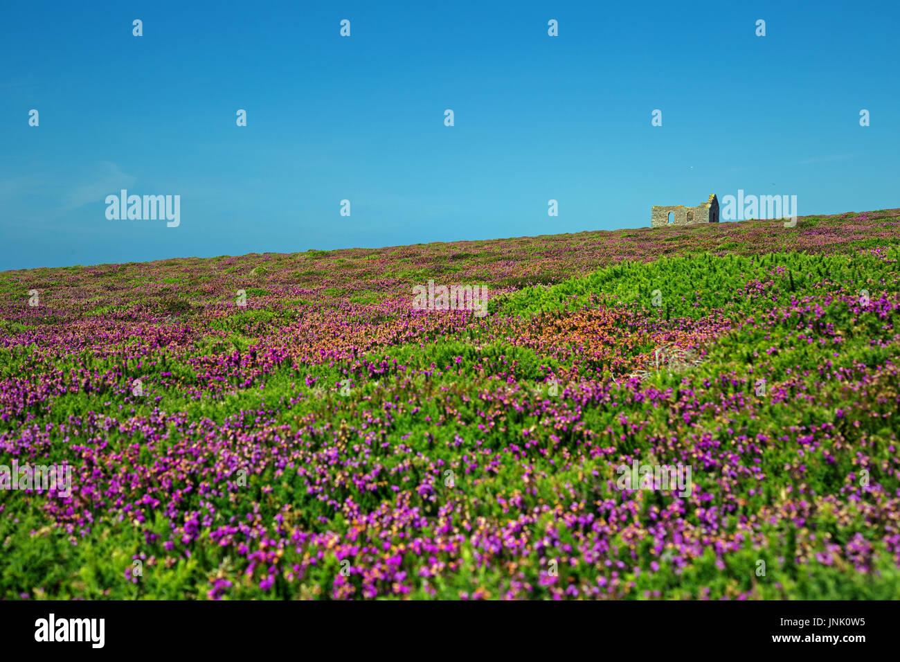 Cornish heather landscape near the Atlantic Ocean - Stock Image