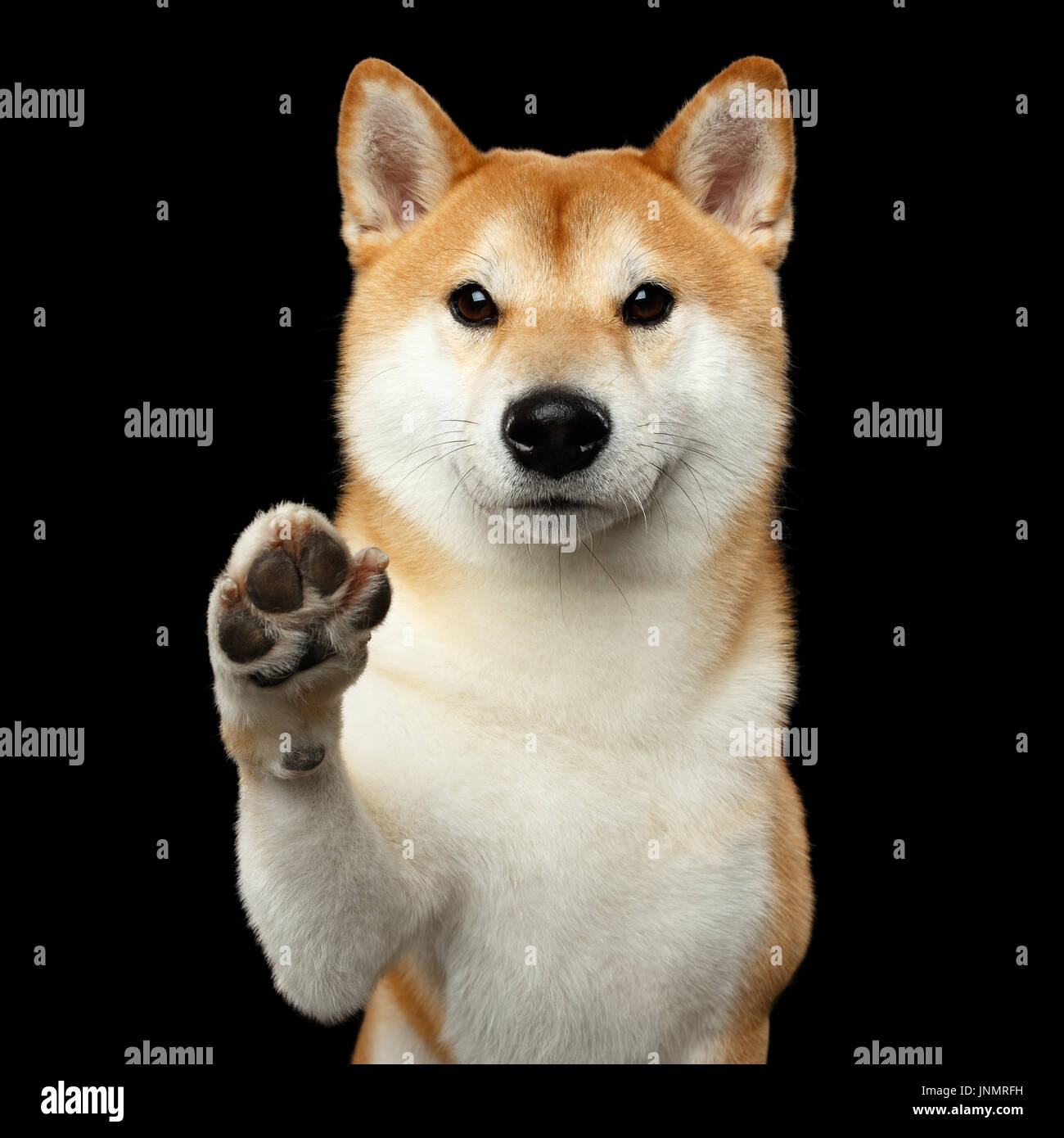 Portrait of Shiba inu Dog Isolated Black Background - Stock Image