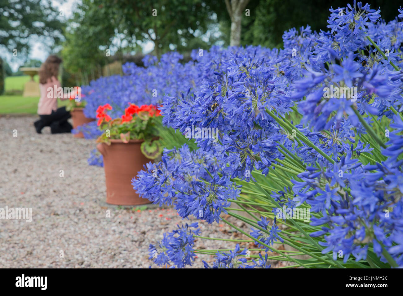 Agapanthus in bloom in the garden with gravel path - Stock Image