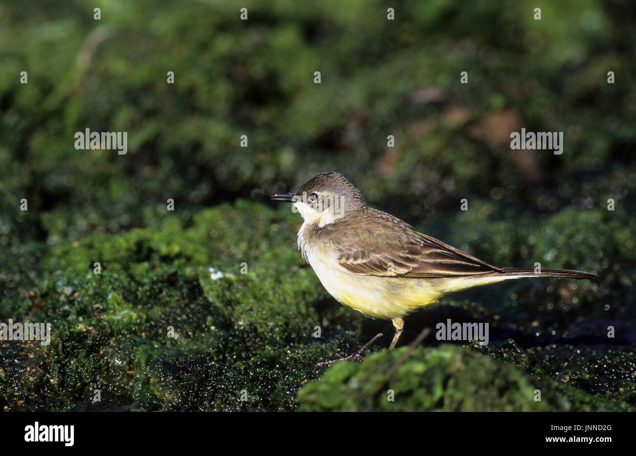 Black-headed Yellow Wagtail female (Motacilla flava feldegg) Tsiknias River Lesvos Greece - Stock Image