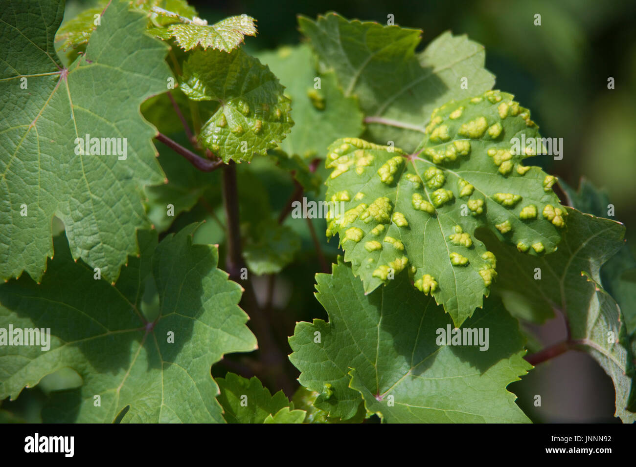 Von Pockenmilben (Eriophyes vitis) befallene Weinblaetter, Piesport, Mittelmosel, Rheinland-Pfalz, Landkreis Bernkastel-Wittlich, Deutschland, Europa  - Stock Image