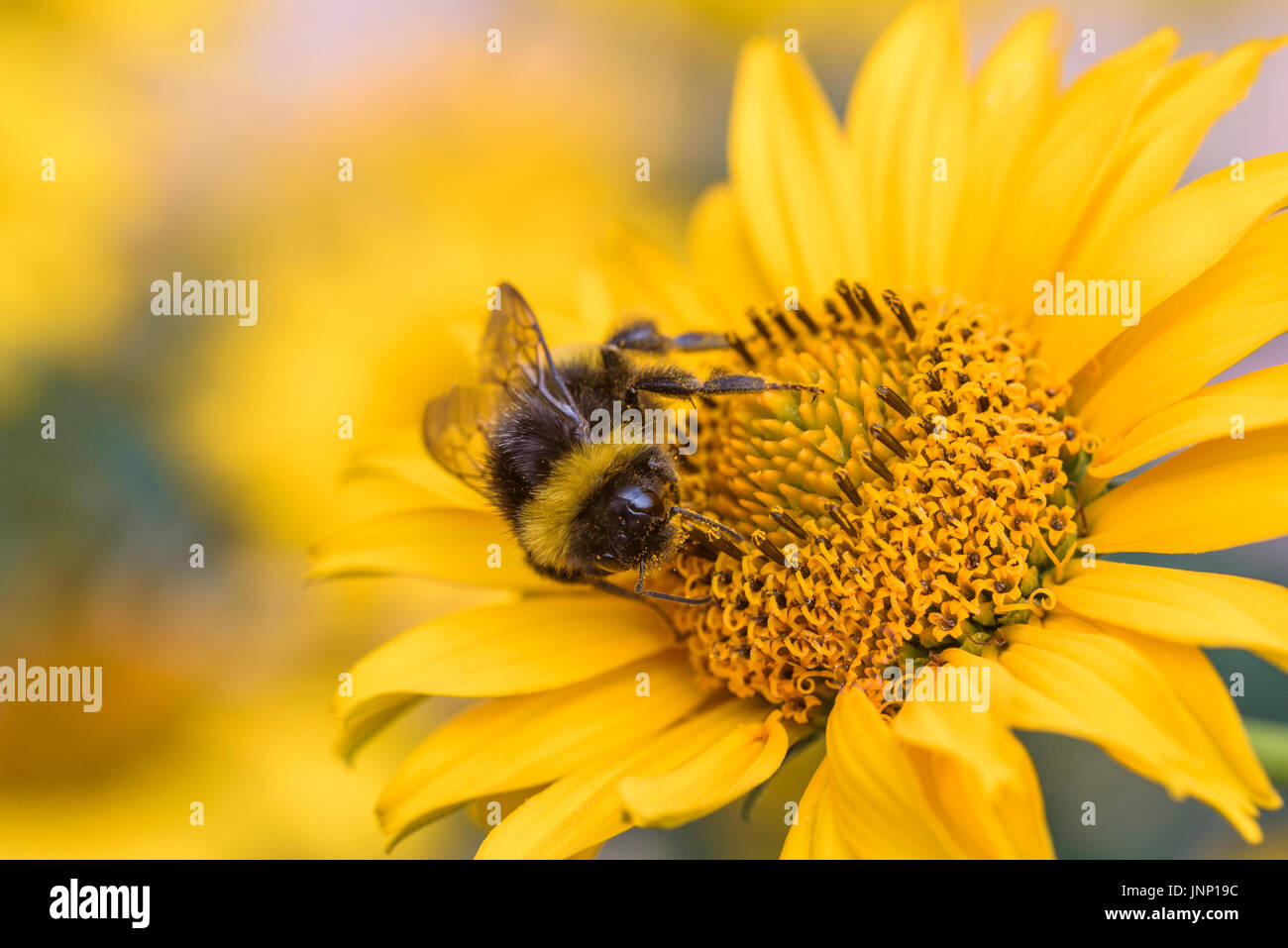 Busy bee on yellow flower, pollination. Active pollinator. - Stock Image