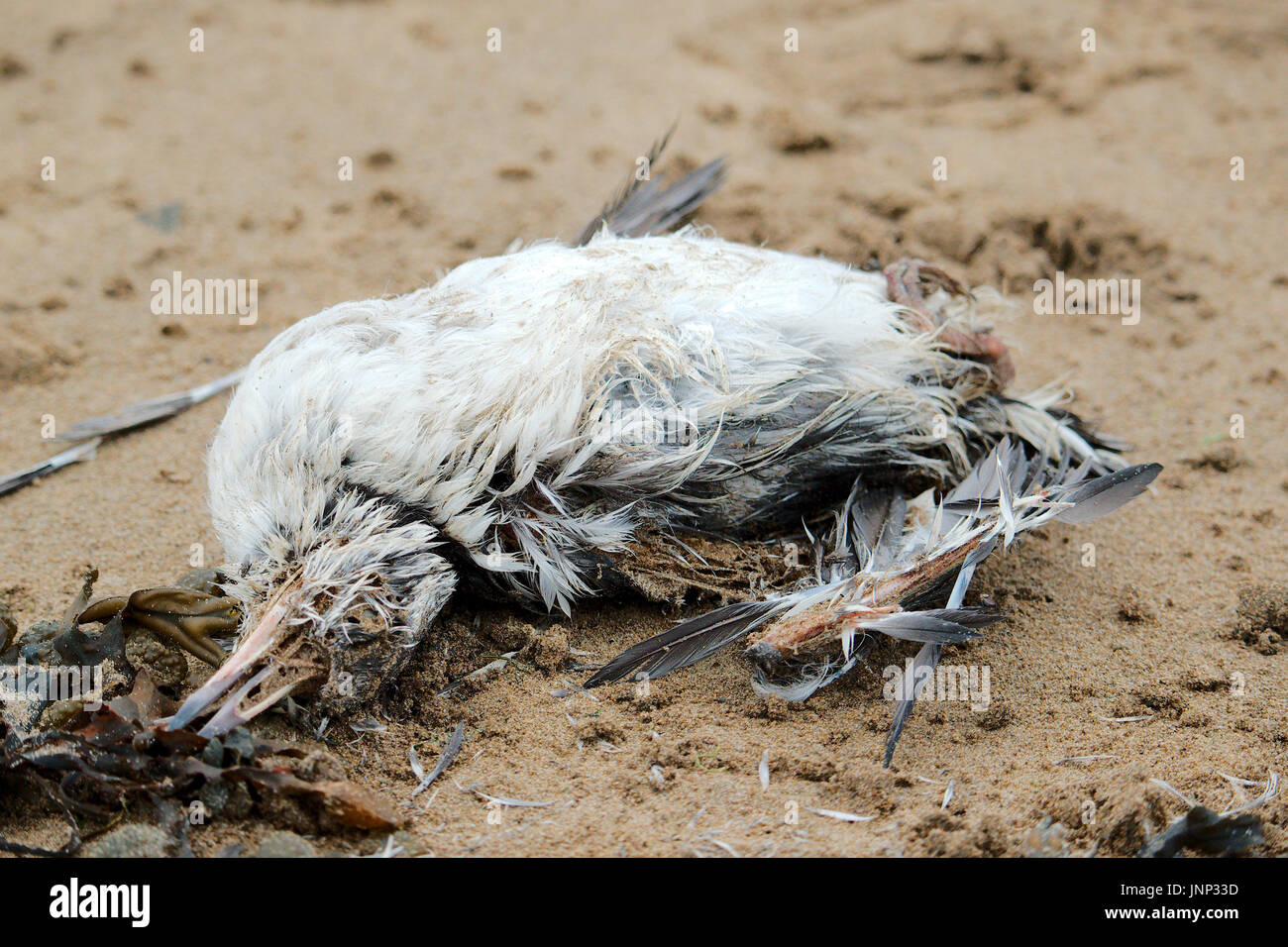 Dead seabird washed up on a beach. - Stock Image