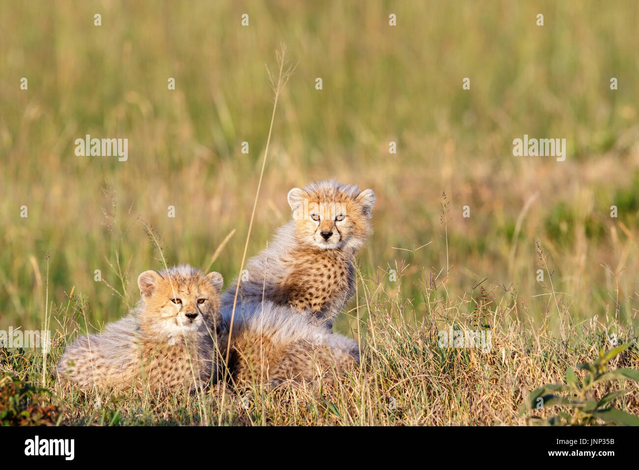 Young cheetah cubs hiding in the grass on the savannah - Stock Image