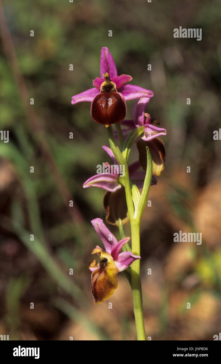 Lesbos Orchid (Ophrys lesbis) near Gavathas Lesvos Greece - Stock Image