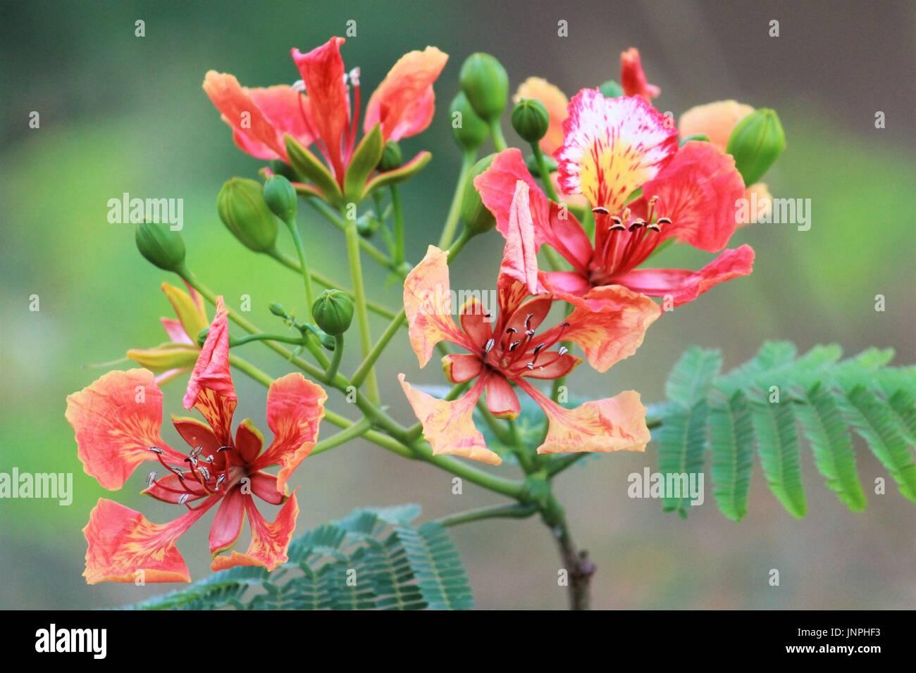 Tropical Blooming Hibiscus Flower Arrangement Stock Photos