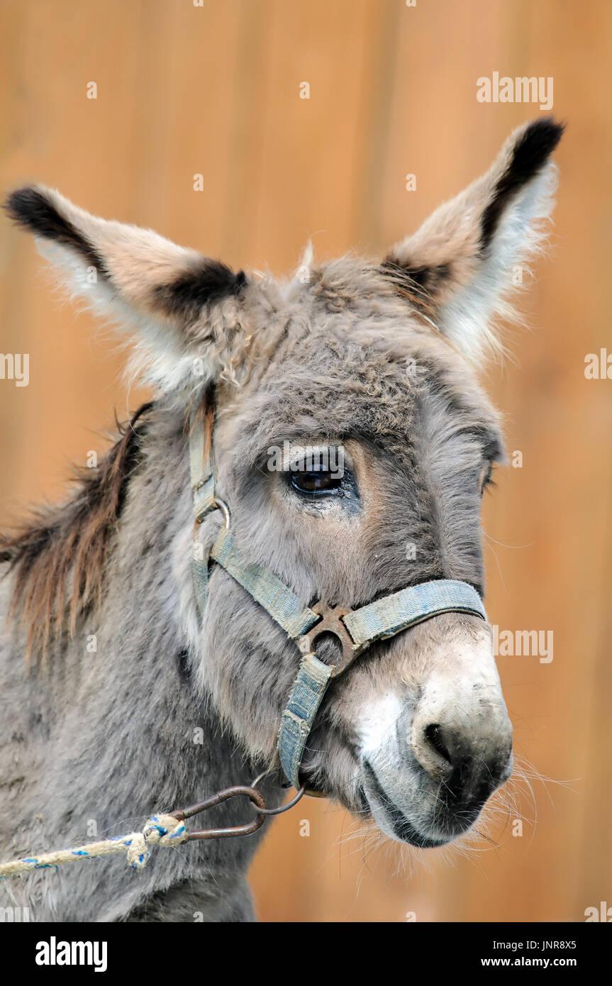 A portrait of stupid looking donkey (Equus africanus asinus). Stock Photo