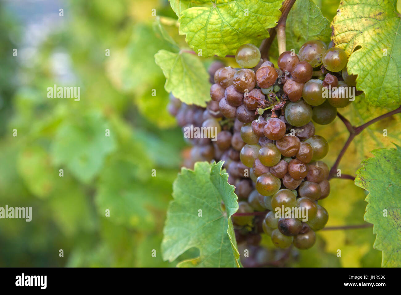 Blaue Weintrauben am Rebstock, Bernkastel-Kues, Mittelmosel, Rheinland-Pfalz, Deutschland, Europa | Grapes at the Stock Photo