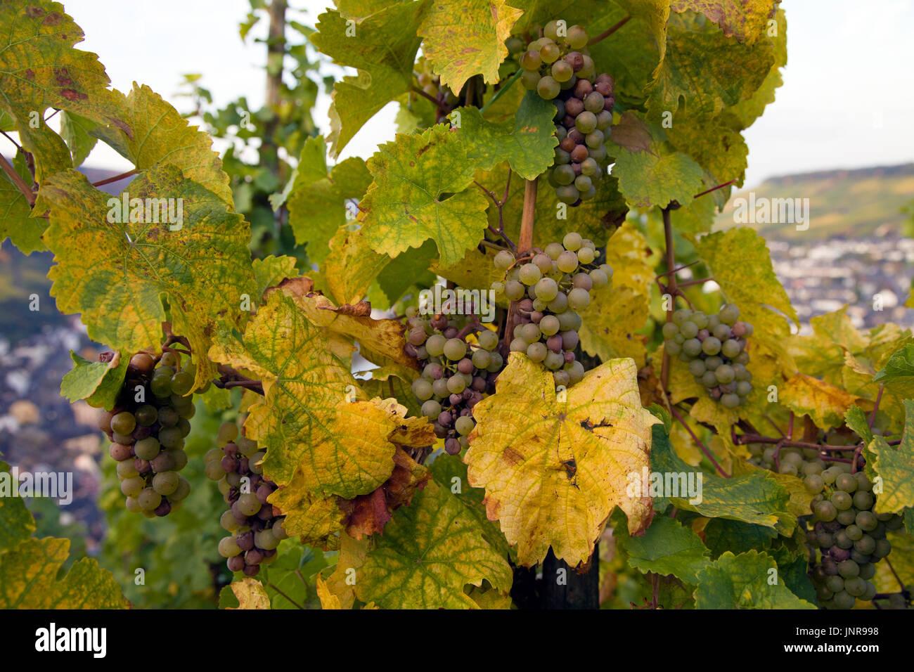 Weinstock mit weissen Weintrauben bei Bernkastel-Kues, Mittelmosel, Rheinland-Pfalz, Deutschland, Europa | Vine Stock Photo