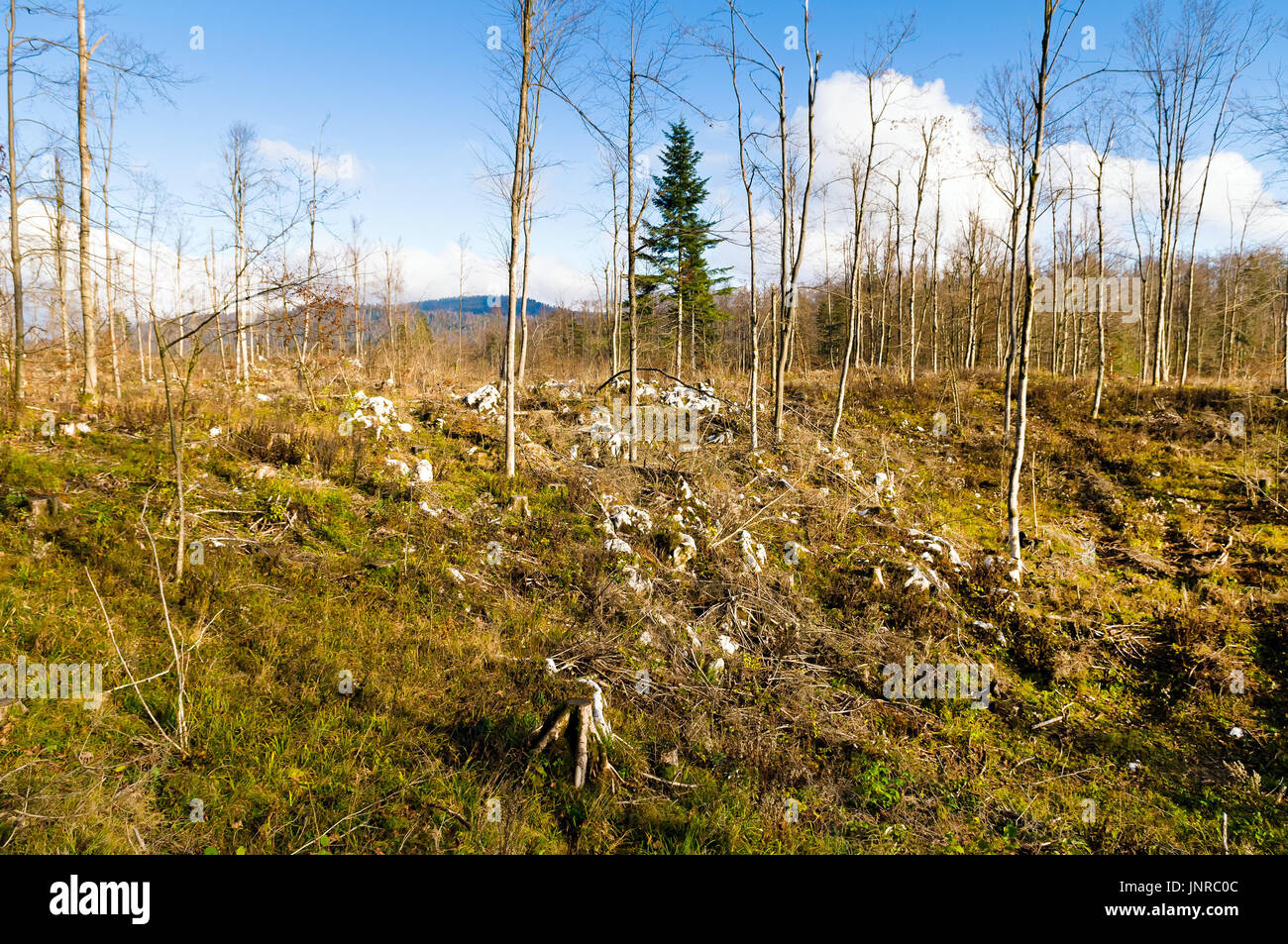 Mixed forest stand devastated after sleet (Europe, Slovenia) in 2014. - Stock Image