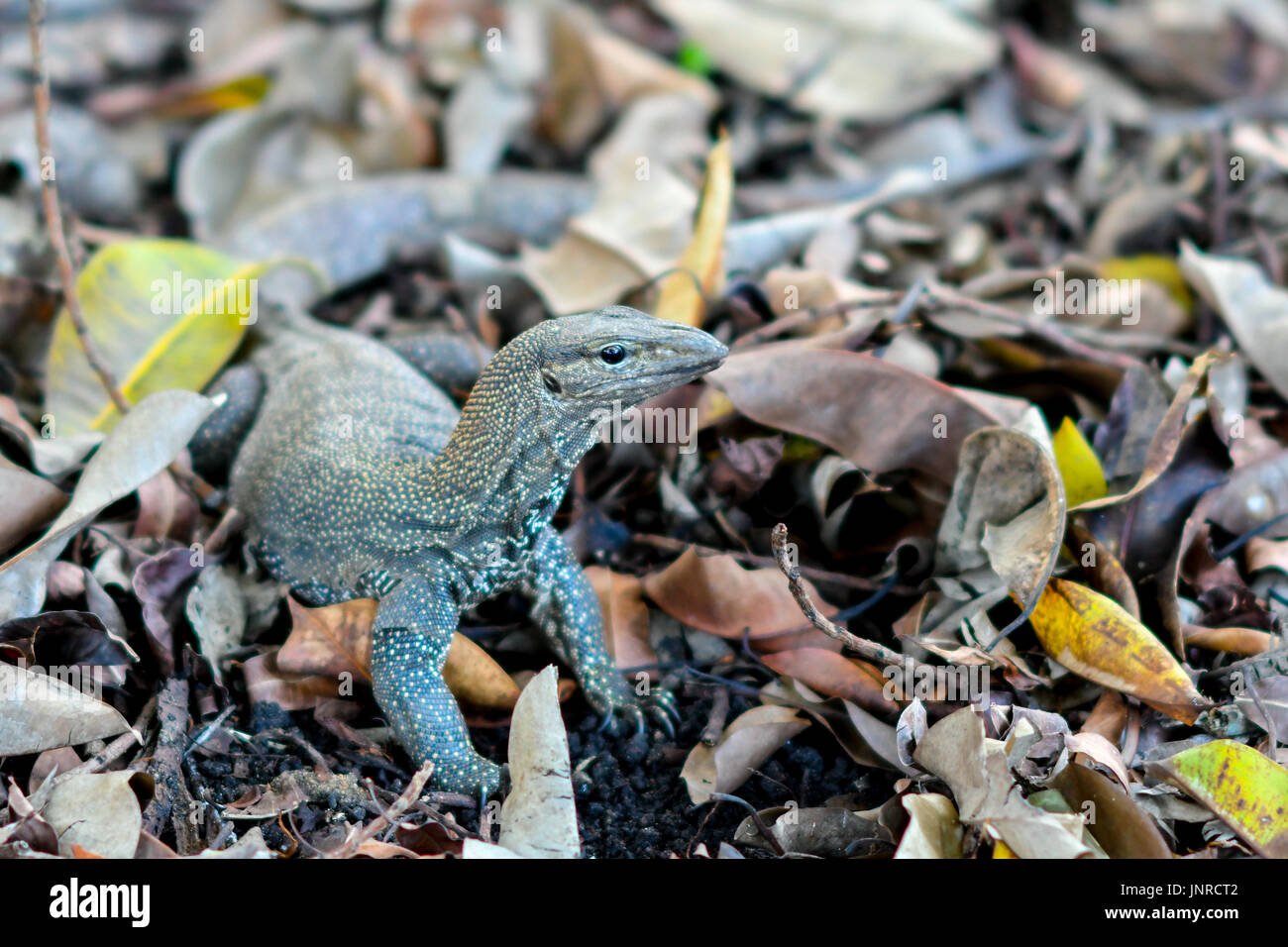 big lizard - Stock Image