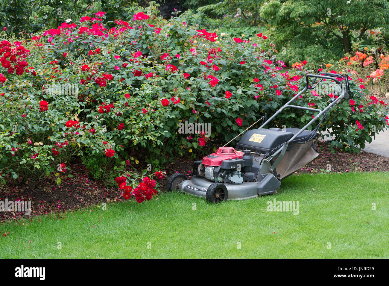 Petrol lawn mower in a garden. UK - Stock Image