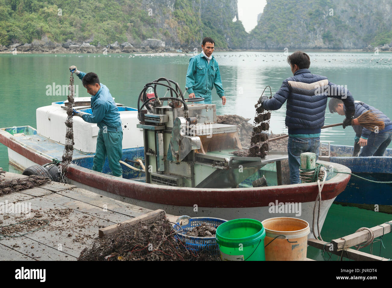 Halong Bay, Vietnam, pearl farm workers collecting farmed oysters Stock Photo