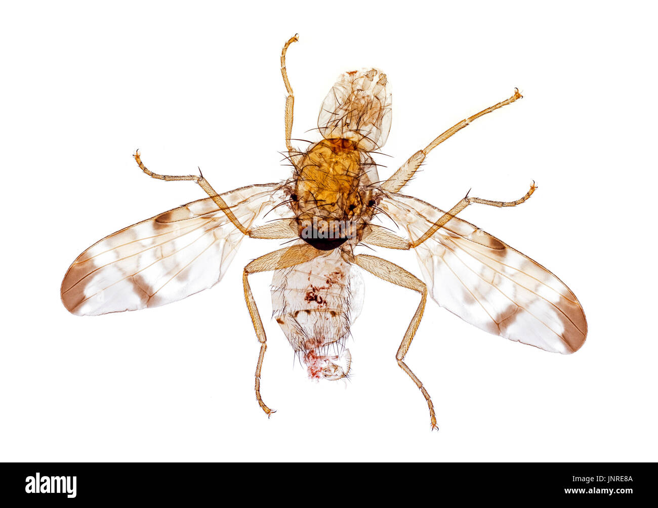Burdock gall fly, male, Tephritis bardanae Stock Photo
