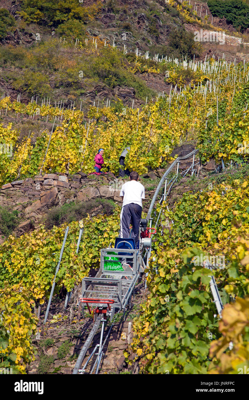 Grape harvest with monorack railway at the steep Calmont vineyard, Bremm, Moselle, Rhineland-Palatinate, Germany, Stock Photo