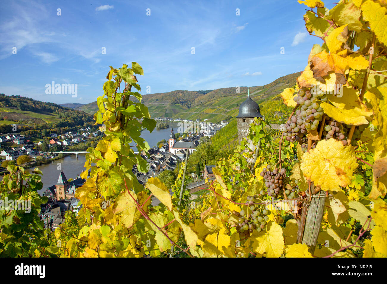 Reife Weintrauben am Weinstock, Blick auf Zell und runder Turm, oberster Turm der ehemeligen Stadtbefestigung und Stock Photo