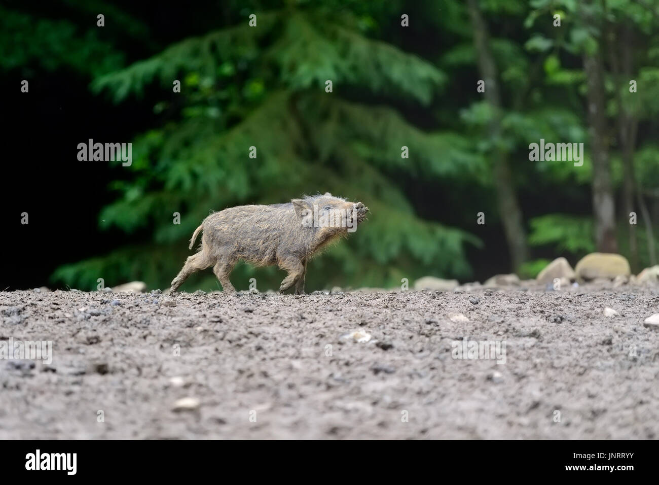 Small wild boar in the forest in the springtime - Stock Image