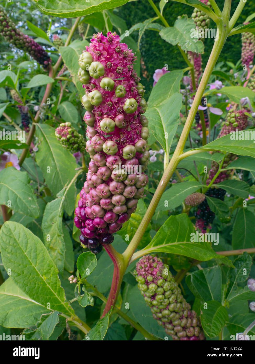 American Pokeweed Plant Phytolacca americana fruiting bodies - Stock Image