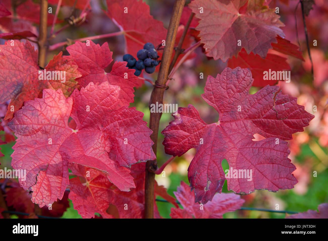 Herbstimpressionen, rot gefaerbte Weinblaetter, Schweich, Mittelmosel, Rheinland-Pfalz, Deutschland, Europa | Autumn impressions, red coloured wine le - Stock Image