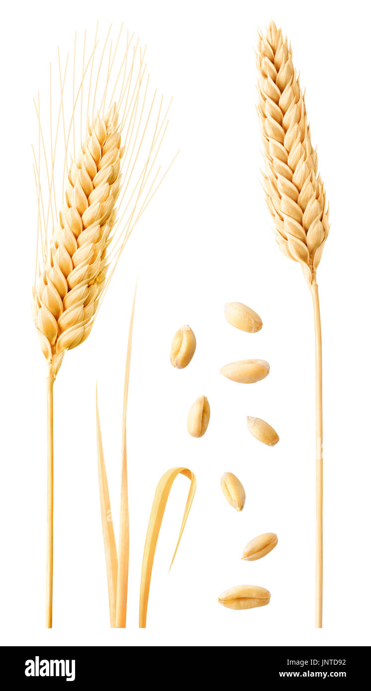 Isolated wheat collection. Two ripe wheat ears on stems, leaves and peeled grains isolated on white background with clipping path - Stock Image