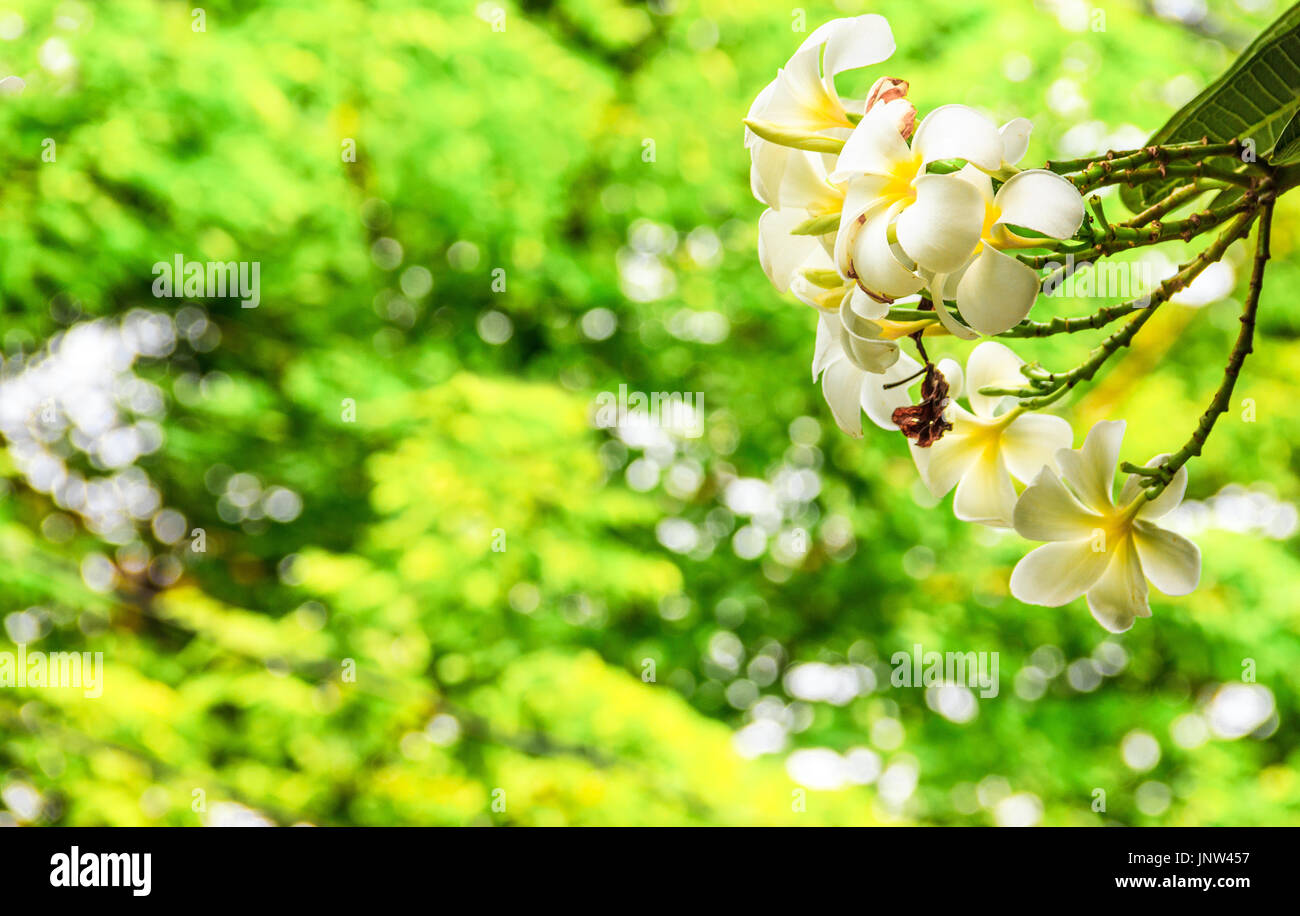 White and Yellow Plumeria flower on Plumeria tree with magical twinkling light bokehs through the bush as a background in Public Park. Frangipani trop - Stock Image