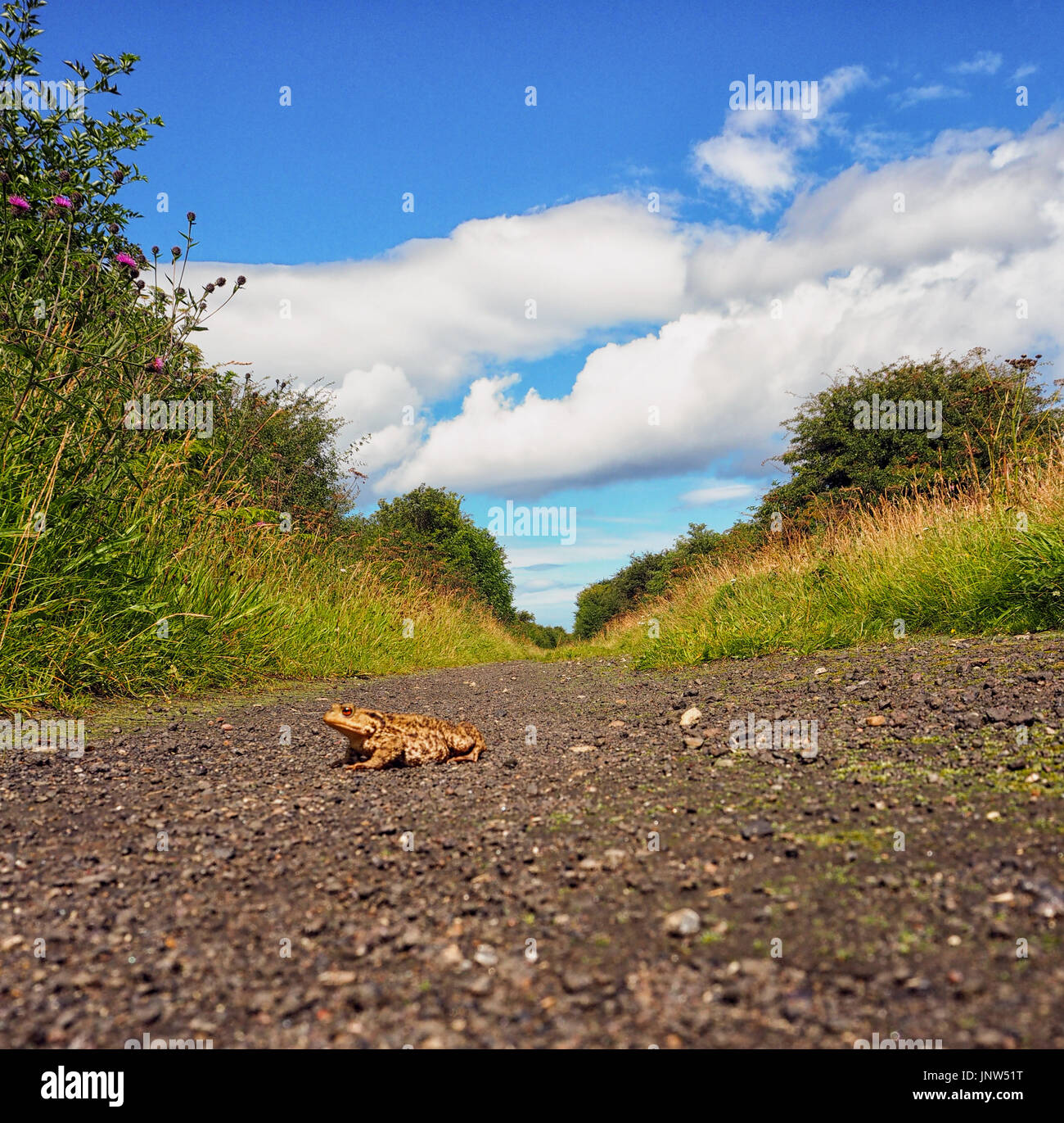 A frog crossing a road - Stock Image