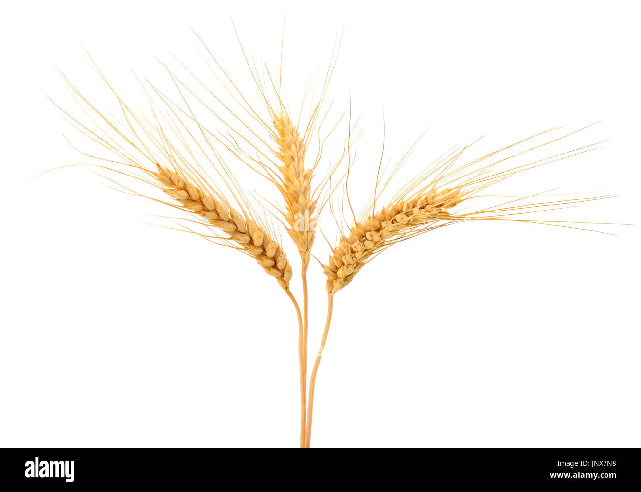 Wheat ears isolated on white background. - Stock Image