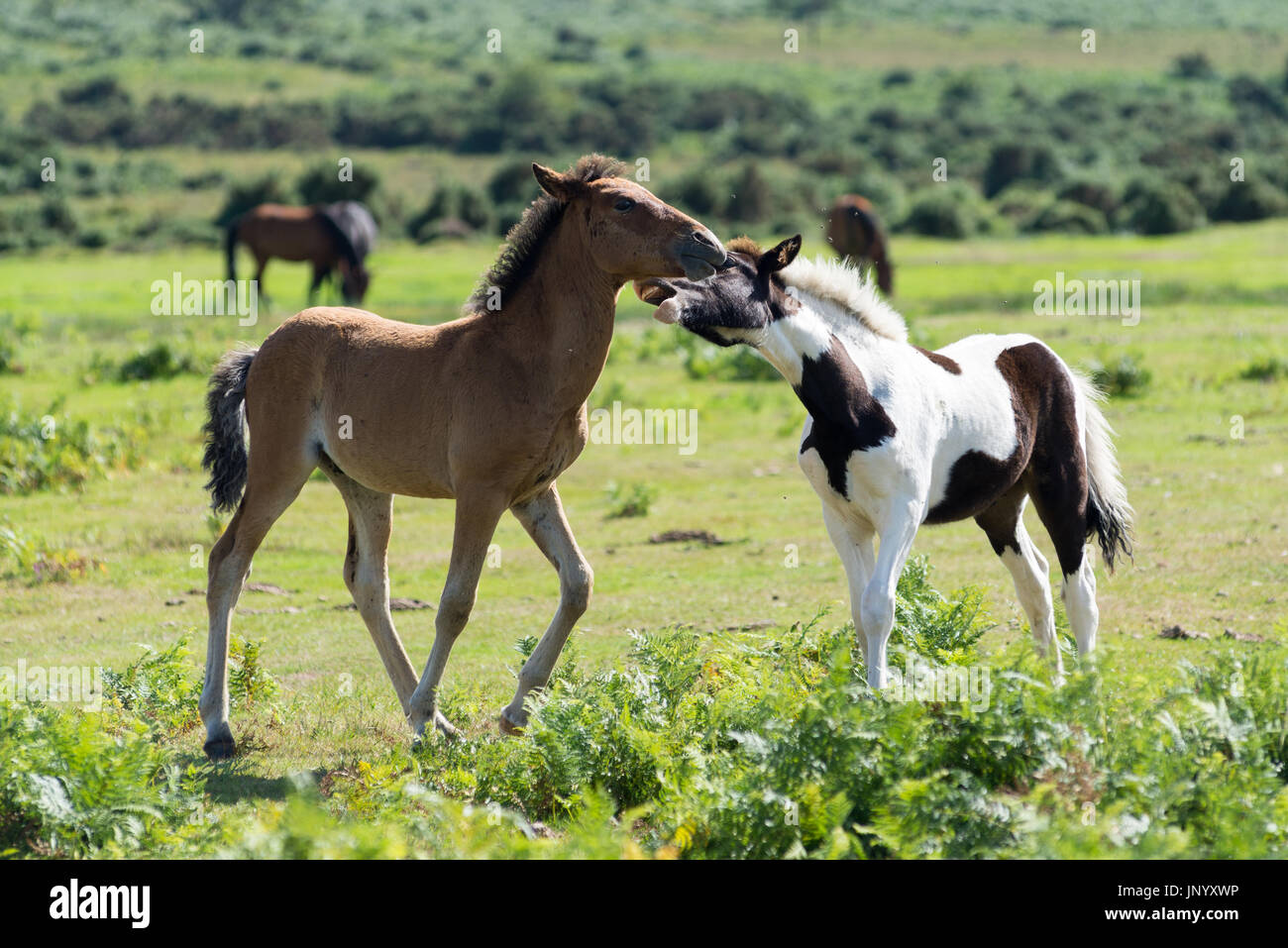Godshill, Fordingbridge, Hampshire, UK. 31st July,  2017. UK Weather. A warm and sunny day and some welcome dry weather on the New Forest National Park. A playful pair of foals frolic in the sunshine. Credit: Paul Biggins/Alamy Live News - Stock Image