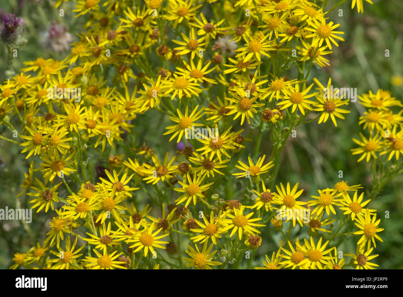 Ragwort Jacobaea Vulgaris Yellow Star Shaped Flowers With Ray And