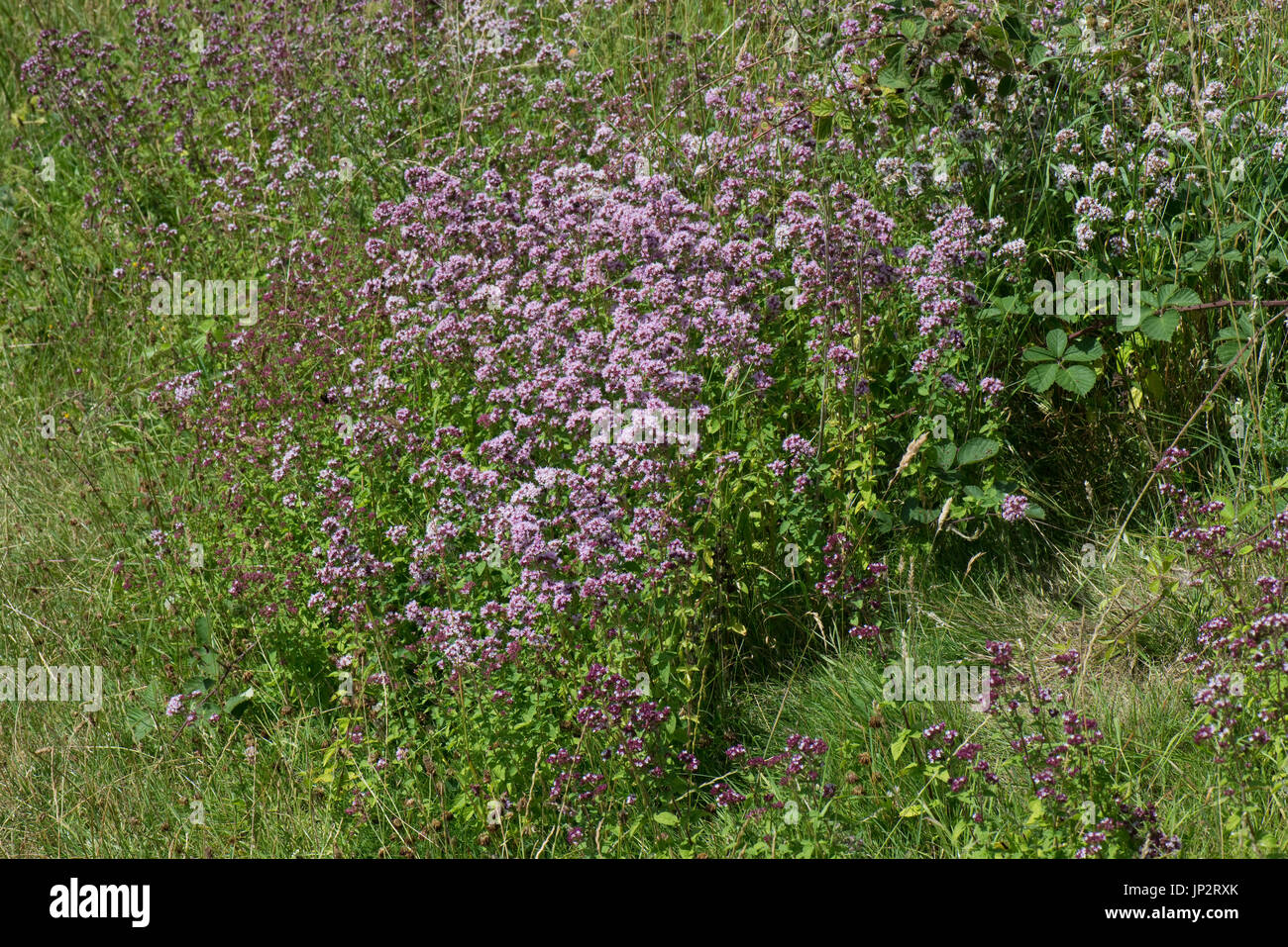 Marjoram or oregano, Origanum vulgare, flowering in old chalk downland grassland in summer, Berkshire, July - Stock Image