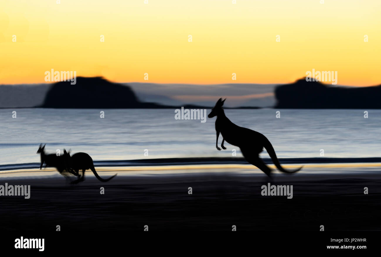Eastern Grey Kangaroo (Macropus giganteus) and Wallabies on the beach at sunrise, Cape Hillsborough, Queensland, QLD, Australia - Stock Image