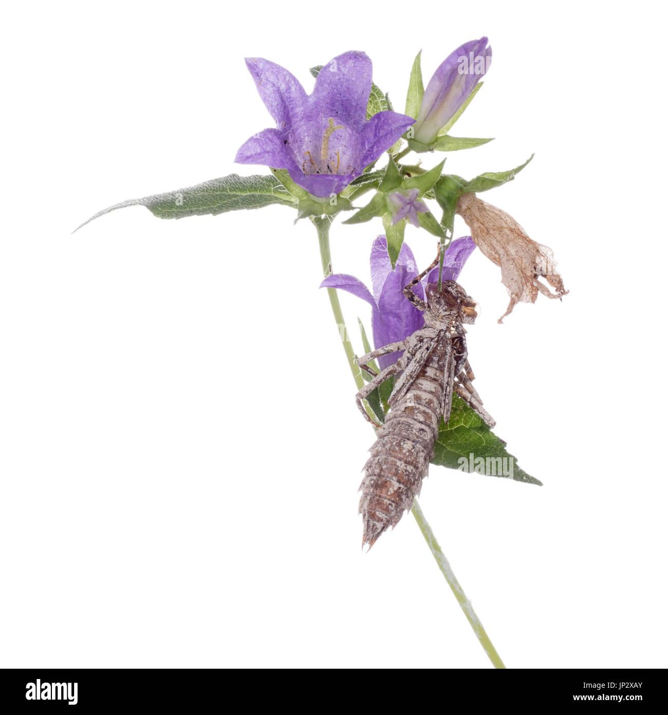 Dragonfly exoskeleton on campanula flower. White background. Metamorphosis. - Stock Image