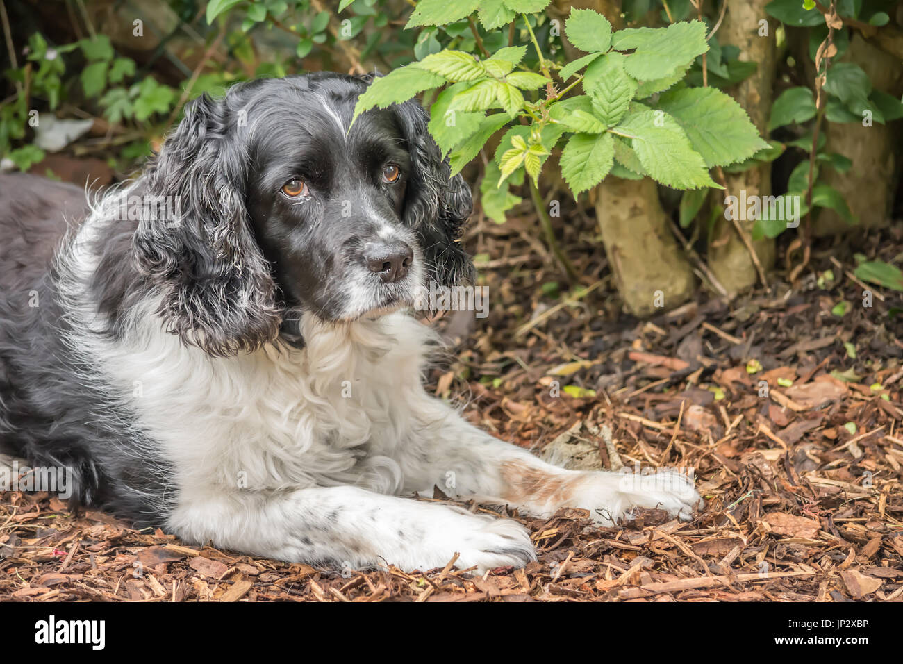 English springer spaniel relaxing in the garden - Stock Image
