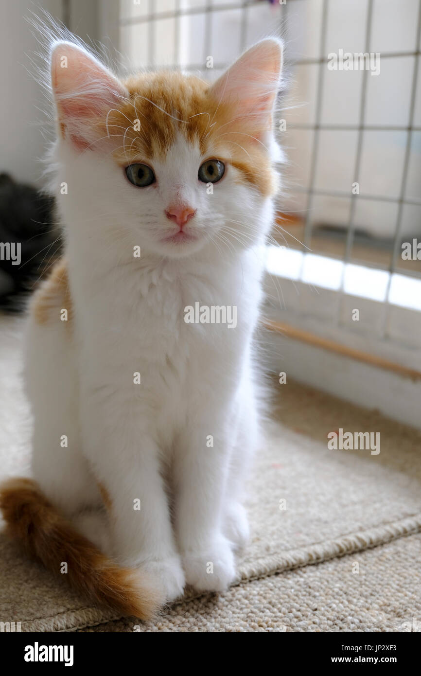 Ginger and white kitten awaiting adoption in an animal sanctuary - Stock Image