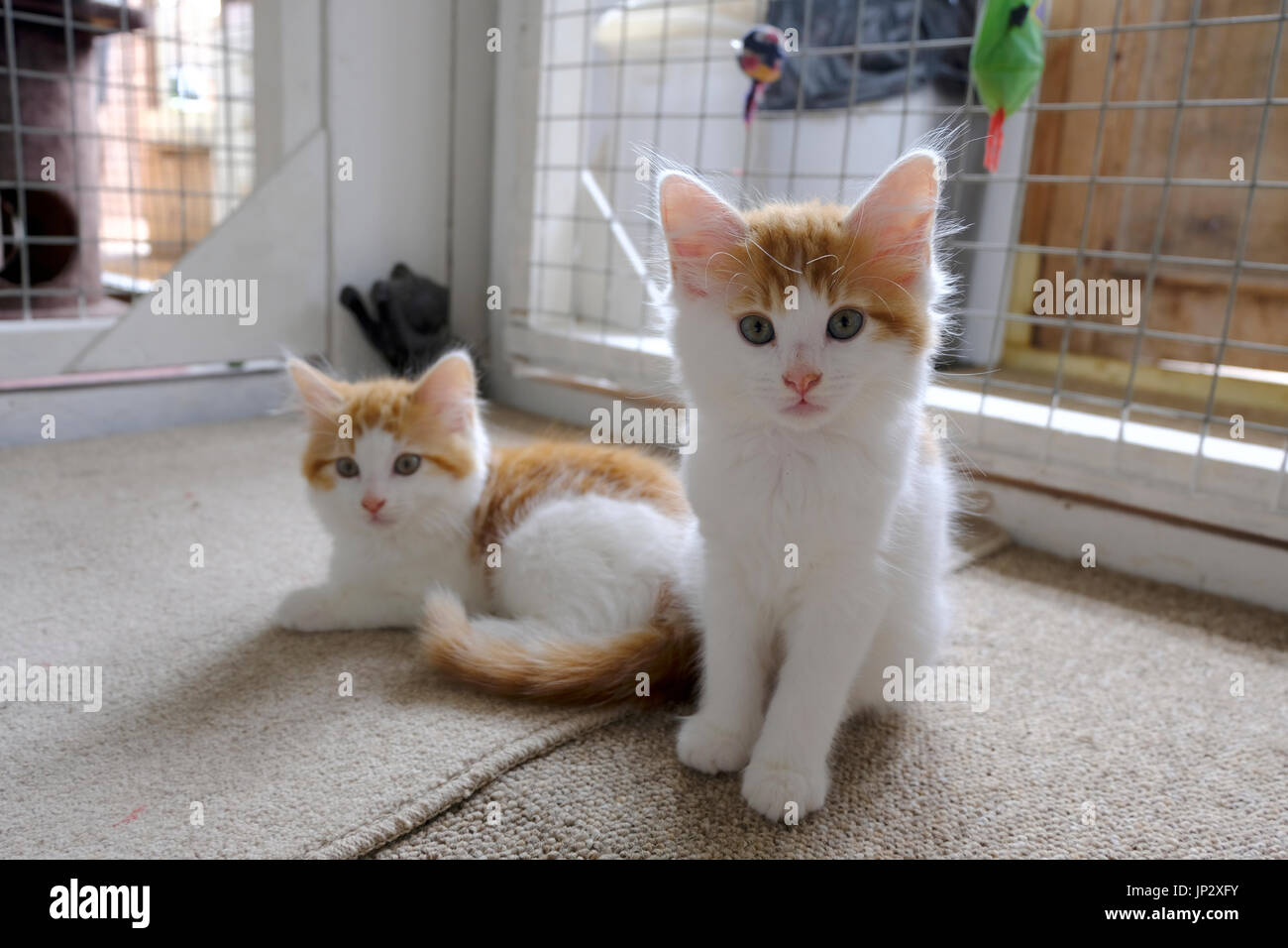 Pair of ginger and white kittens awaiting adoption at a British animal rescue centre - Stock Image