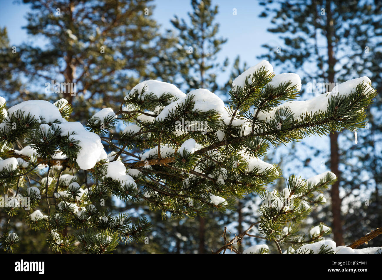Snow Laden Branches On A Norwegian Spruce Tree - Stock Image