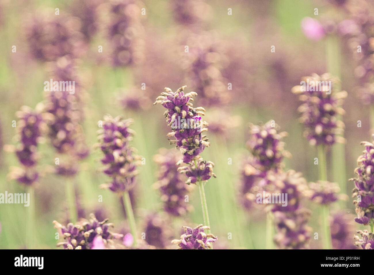 A Lavender field with vintage tones - Stock Image