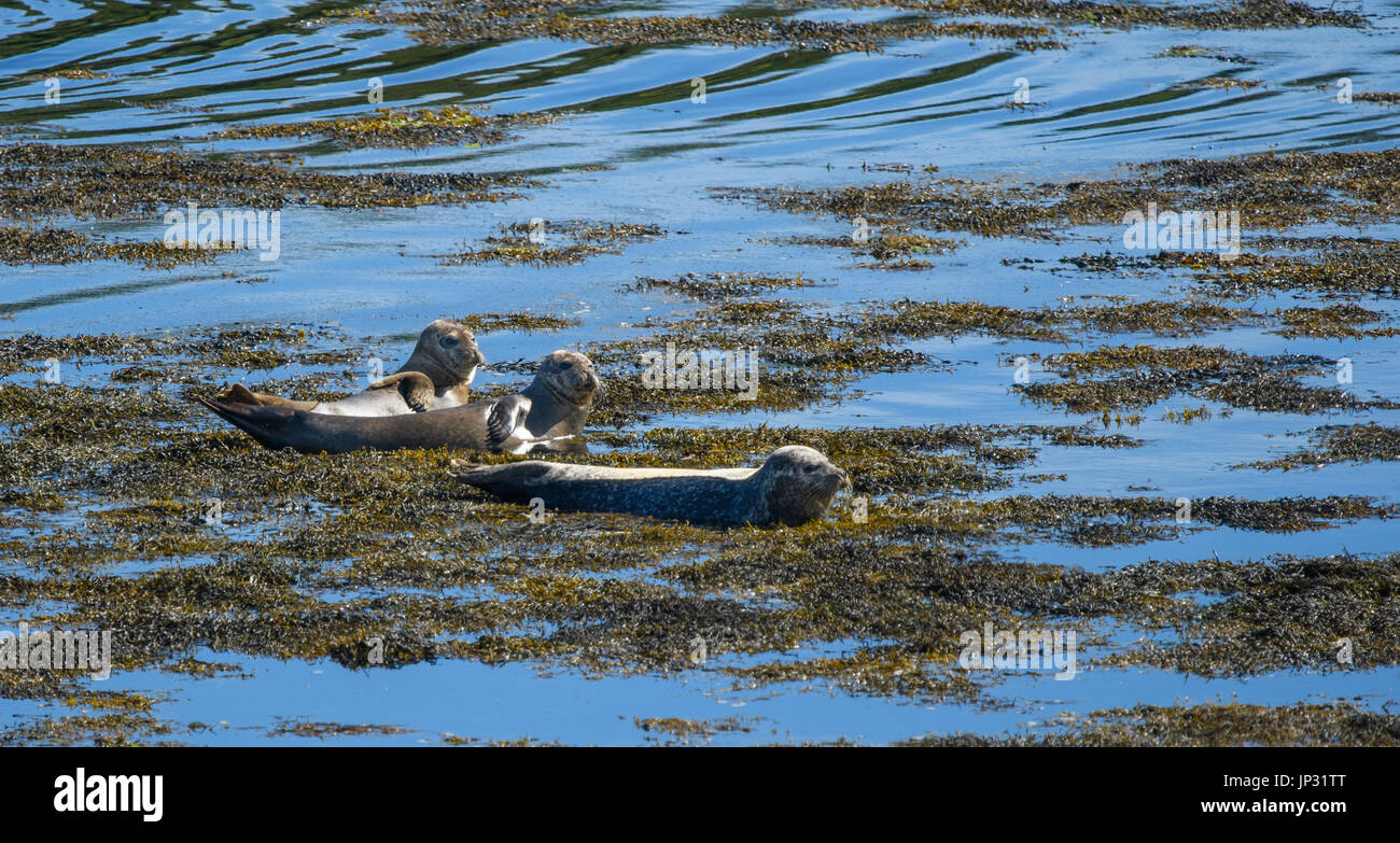 Wild Seals on the Isle of Harris, Outer Hebrides, Scotland - Stock Image