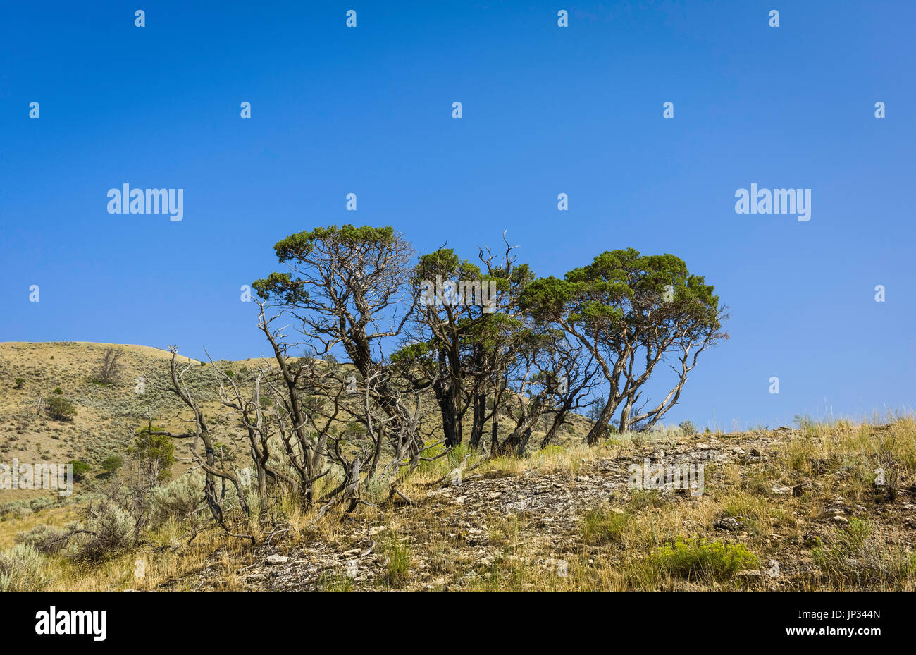 Trees surrounded by arid prairie on a hot summer day near Gardiner, Montana, USA. - Stock Image