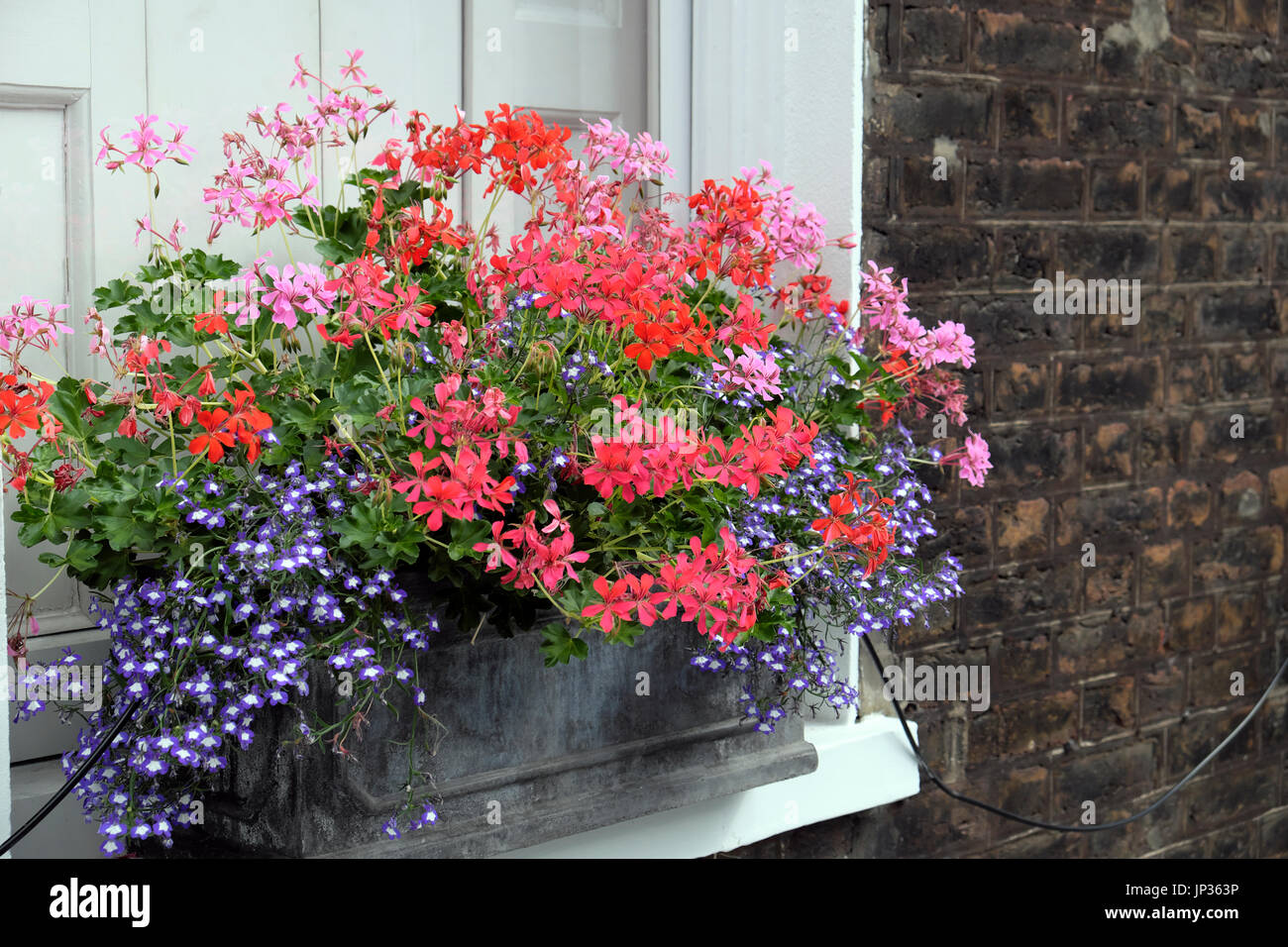 Window box filled with pelargoniums outside a house on Colebrooke Row in Islington, North London N1 England UK  KATHY DEWITT - Stock Image