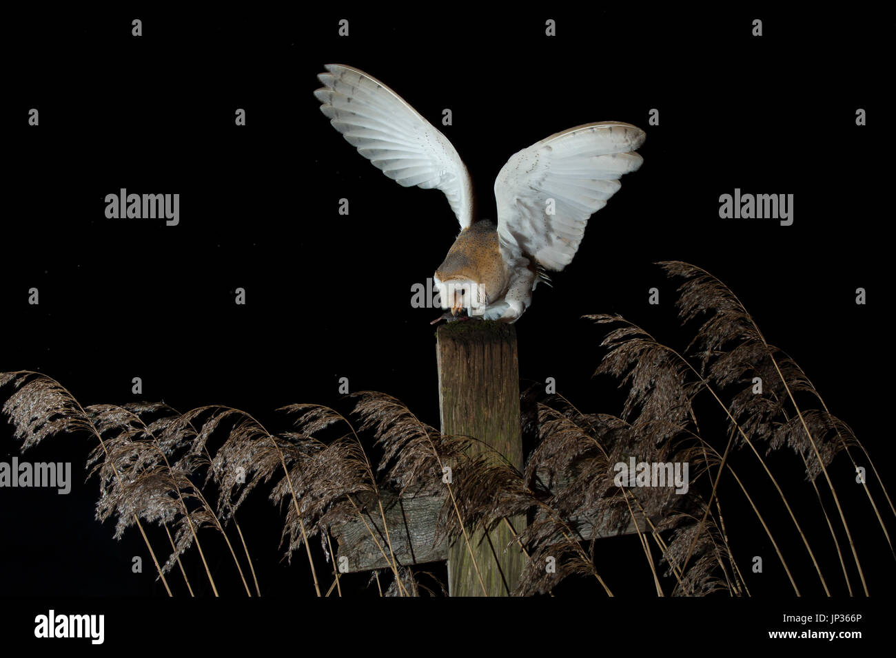 Barn owl (Tyto alba) at night in reeds - Stock Image