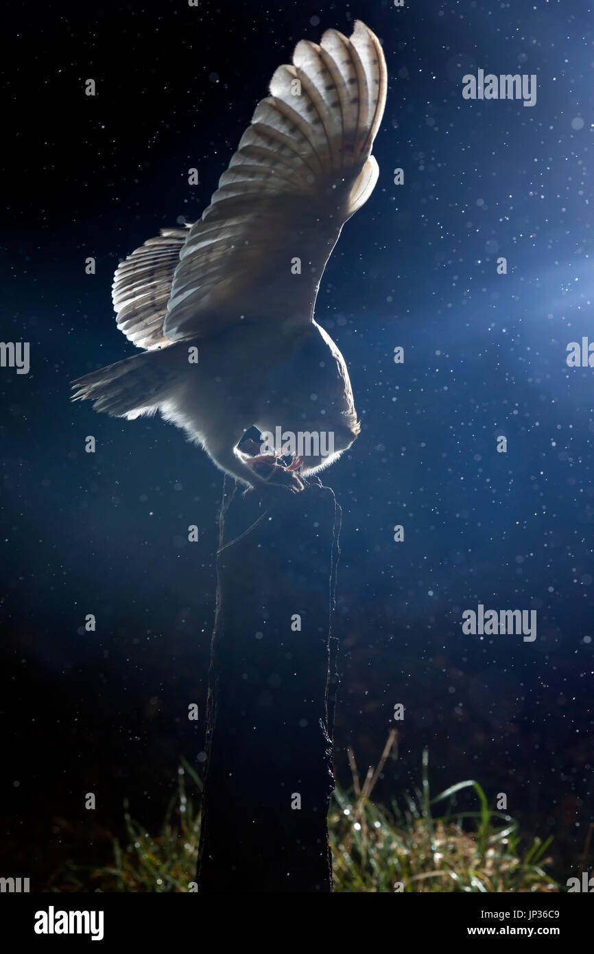 Barn owl (Tyto alba) at night during a rain shower - Stock Image