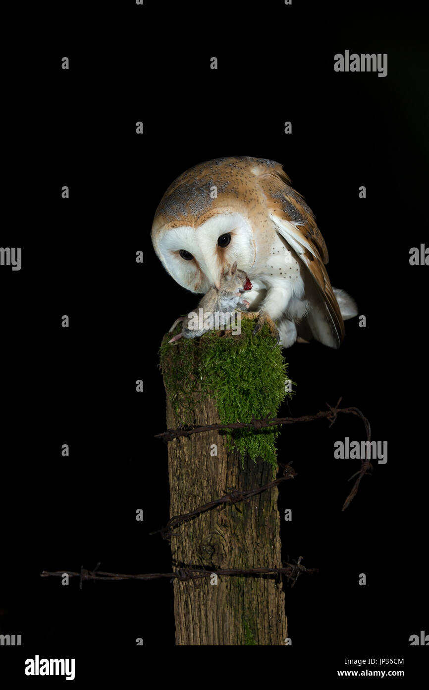 Barn owl (Tyto alba) with prey at night - Stock Image